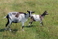 Goat and kid on the pasture - PhotoDune Item for Sale