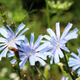 blue flowers of Cichorium - PhotoDune Item for Sale