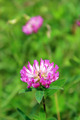 Pink flowers of clover - PhotoDune Item for Sale