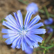 blue flower of Cichorium - PhotoDune Item for Sale