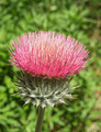 Pink Thistle Flower - PhotoDune Item for Sale