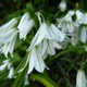Pretty snowdrops - PhotoDune Item for Sale