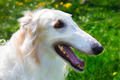 closeup portrait dog Borzoi breed smiling - PhotoDune Item for Sale