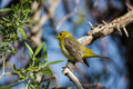 Female Western Tanager Bird - PhotoDune Item for Sale
