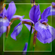 Blue Flowers - VideoHive Item for Sale