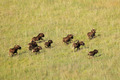 Black wildebeest running - PhotoDune Item for Sale