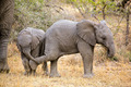 Baby African elephants - PhotoDune Item for Sale
