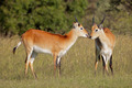 Red lechwe antelopes - PhotoDune Item for Sale
