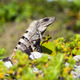 Portrait Of A Large Iguana - PhotoDune Item for Sale