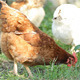Chickens Eat - VideoHive Item for Sale