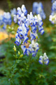 Monkshood (Aconitum autumnale) - PhotoDune Item for Sale