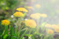 Dandelions in the morning sun. - PhotoDune Item for Sale