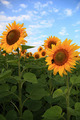 Sunflowers in the field against the blue sky with clouds. - PhotoDune Item for Sale