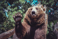 bear waving with claw majestic and powerful animal - PhotoDune Item for Sale