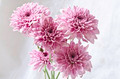 Light purple chrysanthemum flowers on grungy white background - PhotoDune Item for Sale