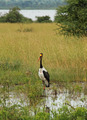Saddle Billed Stork in Ugandan Marsh - PhotoDune Item for Sale