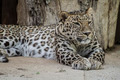Danger, Powerful leopard resting, wildlife mammal with spot skin - PhotoDune Item for Sale