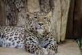 Feline, Powerful leopard resting, wildlife mammal with spot skin - PhotoDune Item for Sale