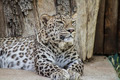 Wild, Powerful leopard resting, wildlife mammal with spot skin - PhotoDune Item for Sale
