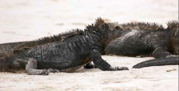 Iguana Spits Another Iguana
