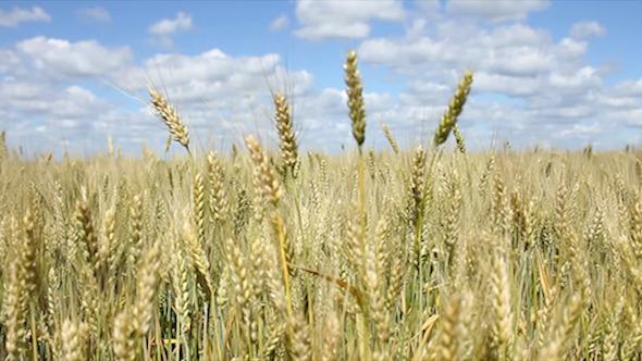 Field Corn 2