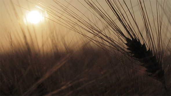 Ear Of Wheat With Sunset