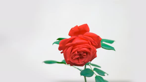 Download Red Rose nulled download