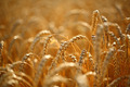 Wheat field - PhotoDune Item for Sale