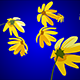 Falling Daisies - ActiveDen Item for Sale
