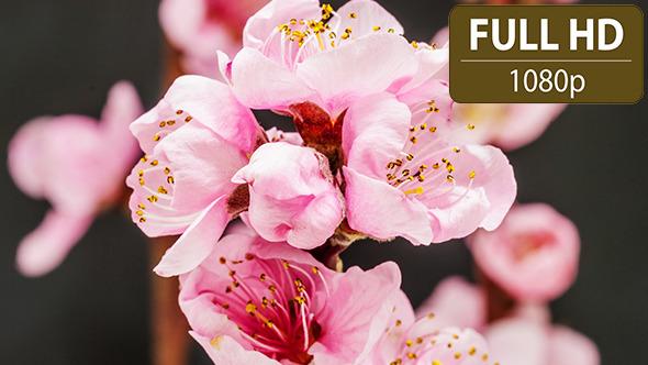 Peach Flower 2