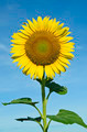 Sunflower with blue sky - PhotoDune Item for Sale