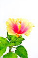 Orange hibiscus flower on white background - PhotoDune Item for Sale