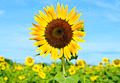 Sunflower in the field  with blue sky - PhotoDune Item for Sale