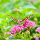 Butterfly Feeding - PhotoDune Item for Sale