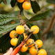 Collecting Loquats 02 - VideoHive Item for Sale