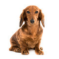 red dog breed dachshund - PhotoDune Item for Sale