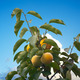 Persimmons - PhotoDune Item for Sale