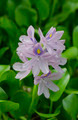 Water Hyacinth flower - PhotoDune Item for Sale
