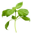 Basil Plant - PhotoDune Item for Sale
