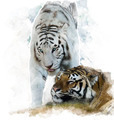 Watercolor Image Of  White And Brown Tigers - PhotoDune Item for Sale