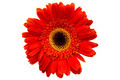 red flower on white background - PhotoDune Item for Sale