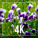 Violet Flowers - VideoHive Item for Sale