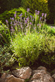 Lavender on rockery - PhotoDune Item for Sale