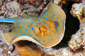 Bluespotted stingray - PhotoDune Item for Sale