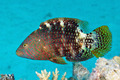 Abudjubbe wrasse - PhotoDune Item for Sale