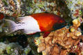 Lyretail hogfish - PhotoDune Item for Sale