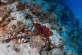 Reef octopus - PhotoDune Item for Sale