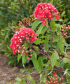 Summer Red Shrub - PhotoDune Item for Sale