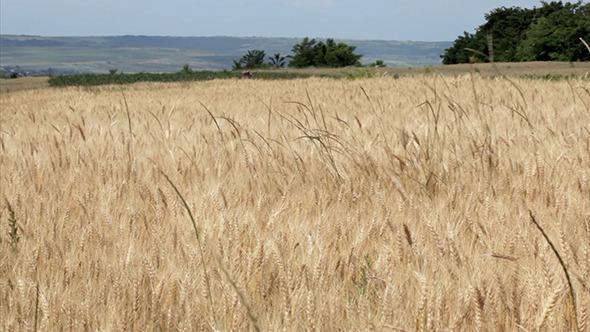Beautiful Wheat Field In Summer
