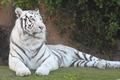 Black and White Striped Tiger - PhotoDune Item for Sale